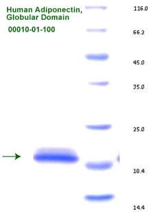 adiponectin recombinant