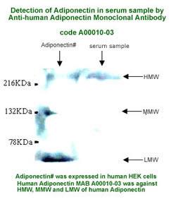 anti-human adiponectin monoclonal antibody for western blot analysis