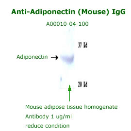 anti mouse adiponectin IgG for western blot analysis