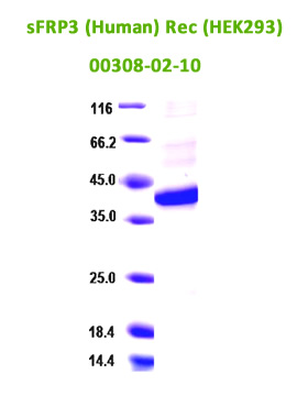 human sFRP3 recombinant derived from HEK293